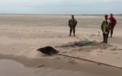 Video | Team Hessel op Terschelling verlost weer een zeehond van net