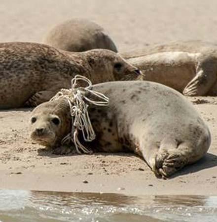 zeehondenopvang-terschelling-RTZ-team-hessel-zeehond-gespot