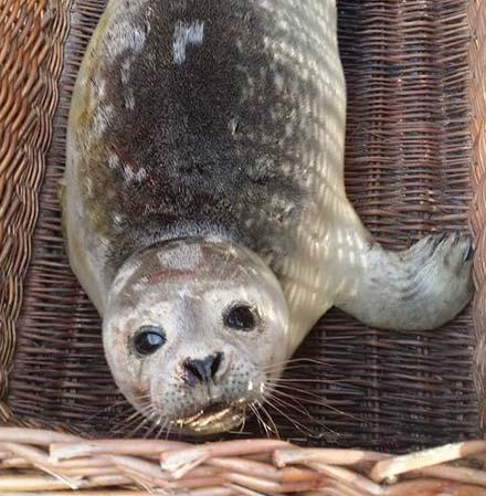 zeehondenopvang-terschelling-hulp-zeehond