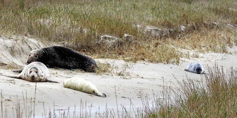 Veel zeehonden en pups op Terschelling